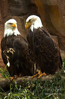 Photograph - Bald Eagle Pair Portrait by Adam Jewell