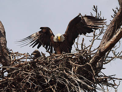 Birds Photograph - Bald Eagle Parenting 2 by Phil Stone