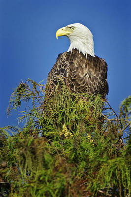 Photograph - Bald Eagle by Patrick M Lynch
