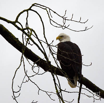 Photograph - Bald Eagle Perched by Bob Christopher