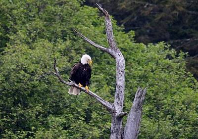 Photograph - Bald Eagle Perched In Tree by Christy Pooschke