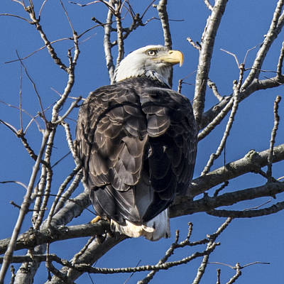Photograph - Bald Eagle Perched by William Bitman