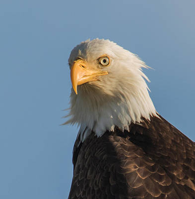 Photograph - Bald Eagle Portrait by Angie Vogel
