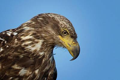 Photograph - Bald Eagle Portrait by Craig Strand