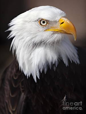 Photograph - Bald Eagle Portrait by David Millenheft