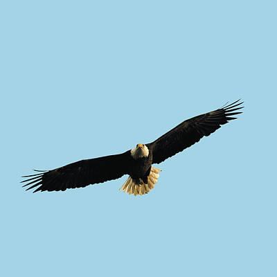 Photograph - Bald Eagle Portrait Flying by William Bitman