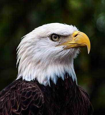 Portraits Photograph - Bald Eagle Portrait by Norman Johnson