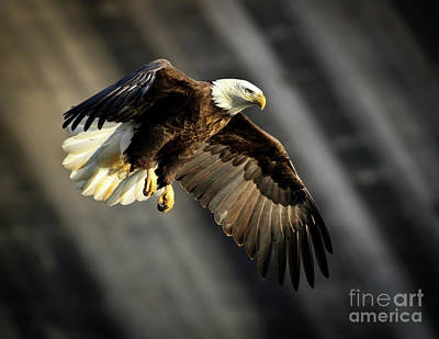 Photograph - Bald Eagle Prepares To Dive by Douglas Stucky