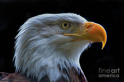 Photograph - Bald Eagle Profile 2 by Mitch Shindelbower