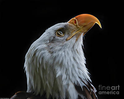 Photograph - Bald Eagle Profile 4 by Mitch Shindelbower