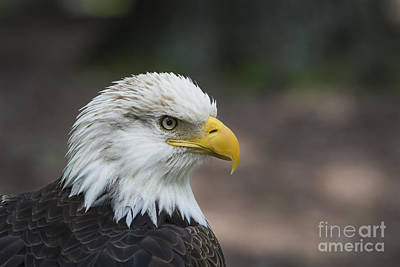 Photograph - Bald Eagle Profile by Andrea Silies
