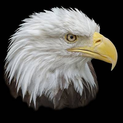 Photograph - Bald Eagle Profile by Ernie Echols