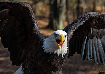 Featured Images Photograph - Bald Eagle Protecting Its Meal by Chris Flees