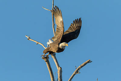 Photograph - Bald Eagle Pushes Off At Launch by Tony Hake