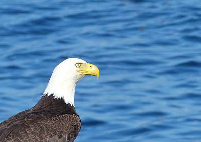 Photograph - Bald Eagle by Rand