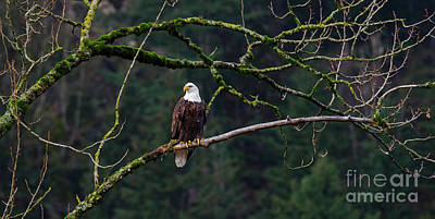 Photograph - Bald Eagle Ready To Hunt by Bob Christopher