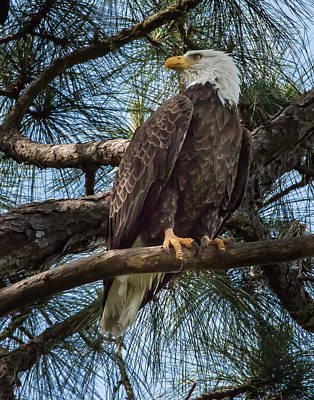Photograph - Bald Eagle by Richard Goldman
