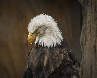 Robin Williams Photograph - Bald Eagle by Robin Williams