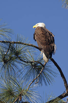 Art Print featuring the photograph Bald Eagle by Sally Weigand
