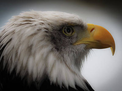 Photograph - Bald Eagle by Sean Foreman