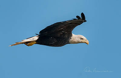 Dan Beauvais Royalty-Free and Rights-Managed Images - Bald Eagle Soaring 3128 by Dan Beauvais