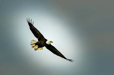 Photograph - Bald Eagle Soaring by Les Greenwood