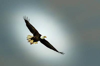 Photograph - Bald Eagle Soaring by Les Greenwood