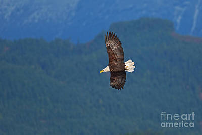 Photograph - Bald Eagle Soaring  by Sharon Talson