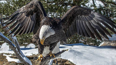 Photograph - Bald Eagle Spread by Dawn Key