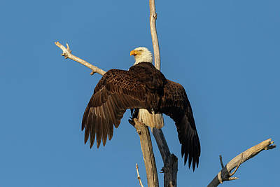Photograph - Bald Eagle Spreads Its Wings To Dry Out by Tony Hake
