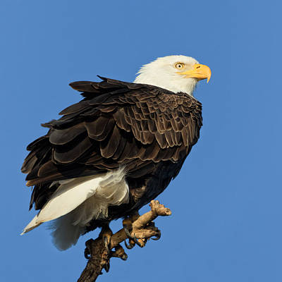 Photograph - Bald Eagle Squared by Kathleen Bishop