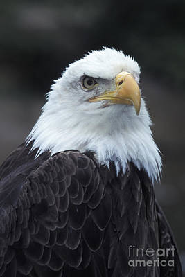 Photograph - Bald Eagle by Stan and Anne Foster