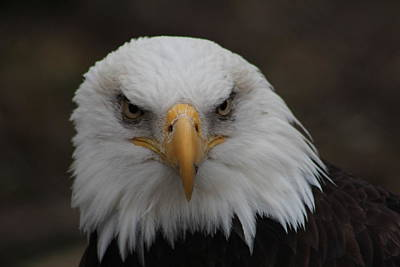 Billiard Balls - Bald Eagle Stare  by Douglas Milligan