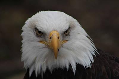 Bald Eagle Stare  Art Print