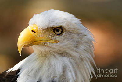 Photograph - Bald Eagle by Sue Harper