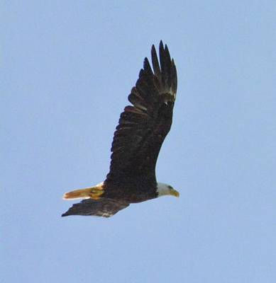 Photograph - Bald Eagle by Sumoflam Photography