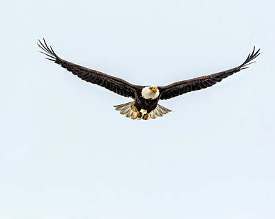Photograph - Bald Eagle Surprise Flight by Yeates Photography
