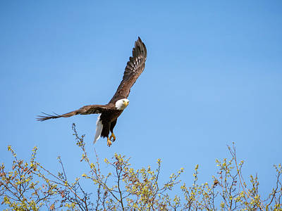 Photograph - Bald Eagle Taking Flight To Blue Sky As North American Wildlife  by Open Range