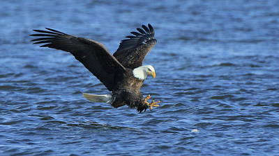 Photograph - Bald Eagle Talons Up by Coby Cooper