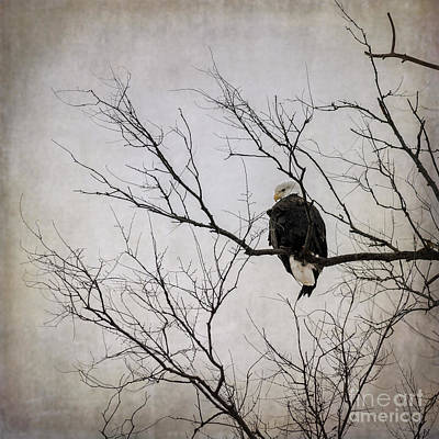 Photograph - Bald Eagle by Tamara Becker
