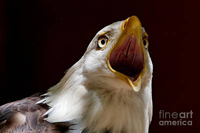 Photograph - Bald Eagle - The Great Call by Sue Harper
