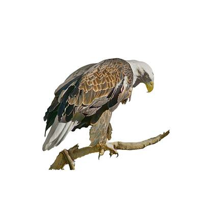 Photograph - Bald Eagle - Transparent by Nikolyn McDonald