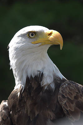 Photograph - Bald Eagle by Valerie Kirkwood