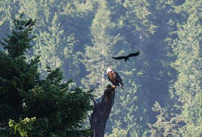 Photograph - Bald Eagle Versus Ravens  by Christy Pooschke