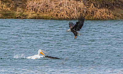 Guns Arms And Weapons - Bald Eagle VS Pelican by Marc Crumpler