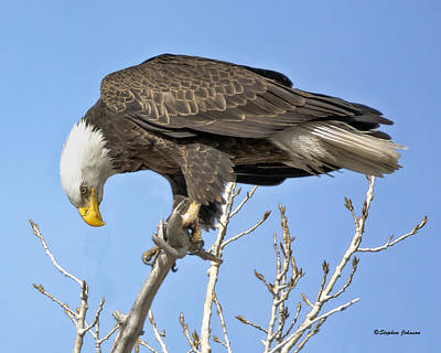 Bald Eagle Watching A Magpie Art Print by Stephen  Johnson