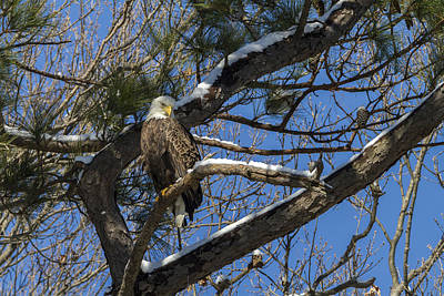Photograph - Bald Eagle Watching Her Domain by Liza Eckardt