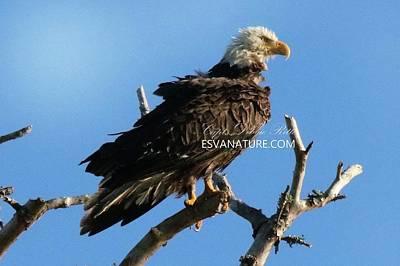 Photograph - Bald Eagle Wet 9087 by Captain Debbie Ritter