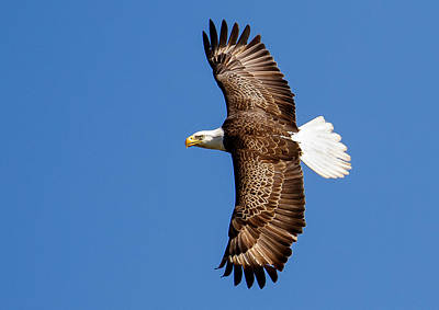 Photograph - Bald Eagle Wing Span by Phil Stone