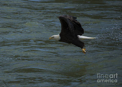 Photograph - Bald Eagle With Fish In Claws Flying Over The French Broad River, Tennessee by Schwartz Nature Images